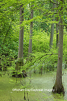 63895-14612 Bald Cypress trees (Taxodium distichum) Heron Pond Little Black Slough, Johnson Co. IL