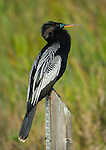 Anhinga perched on a water gauge