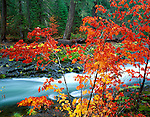 Rogue River National Forest, OR<br /> A brilliant Vine Maple (Acer circinatum) in fall color along the basalt  banks of the Rogue River at Natural Bridge