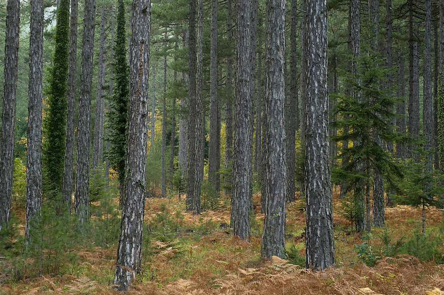 Greece, Pindos Mountains, Pindos NP, Valia Calda, Trunks in Pine Forest in Valia Calda