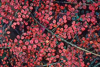 Cotoneaster horizontalis (Rock Cotoneaster) leaves in fall color