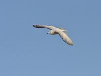 Kumlien's Gull - Larus glaucoides kumlieni - 1st winter.