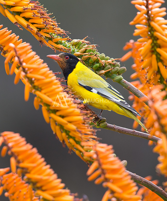 A Black-headed oriole perches in a camp garden in Kruger.