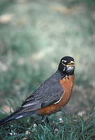 Robin, Turdus migratorius, stands in grass of lawn making eye contact