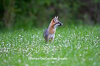 01867-00112 Gray Fox (Urocyon cinereoargenteus) female in field, Holmes Co, MS