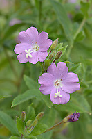 GREAT WILLOWHERB Epilobium hirsutum (Onograceae) Height to 2m. Downy perennial with a round stem. Favours damp habitats such as fens and riverbanks. FLOWERS are 25mm across and pinkish purple with pale centres, and a 4-lobed stigma; in terminal clusters (Jul-Aug). FRUITS are pods that contain cottony seeds. LEAVES are broadly oval, hairy and clasping. STATUS-Widespread and common, except in the N.