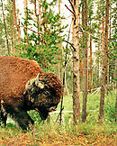 USA, Wyoming, bison walking in the forest, Yellowstone National Park