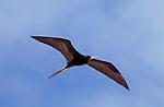 Great Frigatebird, Male, in flight, flying against blue sky, Fregata minor, Galapagos, Ecuador