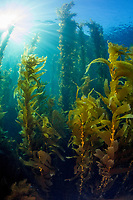 Giant Bladder Kelp, Macrocystis pyrifera, Ship Rock, Catalina Island, California Channel Islands, California, USA, Pacific Ocean