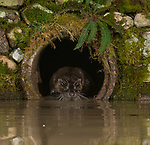 Pictured: An otter peeks out of the tunnel<br /> <br /> A series of animals are perfectly reflected in a pool of water as they peek their heads out of a tunnel.<br />    The array of wildlife - from a red squirrel to a badger - seek refuge from the hot weather in the drainage pipe.<br />  <br /> Visitors to the 18-inch wide tunnel and the surrounding small pool include a blackbird, a great spotted woodpecker, an otter and a family of blue tits.    Photographer Alan McFadyen pictured the animals near his home in Kirkcudbright, Scotland.   SEE OUR COPY FOR DETAILS<br /> <br /> Please byline: Alan McFadyen/Solent News<br /> <br /> © Alan McFadyen/Solent News & Photo Agency<br /> UK +44 (0) 2380 458800
