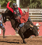 Bull Rider Levi Gray from Dairy, Oregon scores 72.0 at the 62nd annual Mother Lode Round-up on Sunday, May 12, 2019 in Sonora, California.  Photo by Al Golub