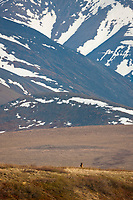 Arctic wolf, Brooks Range, Gates of the Arctic National Park, Alaska.