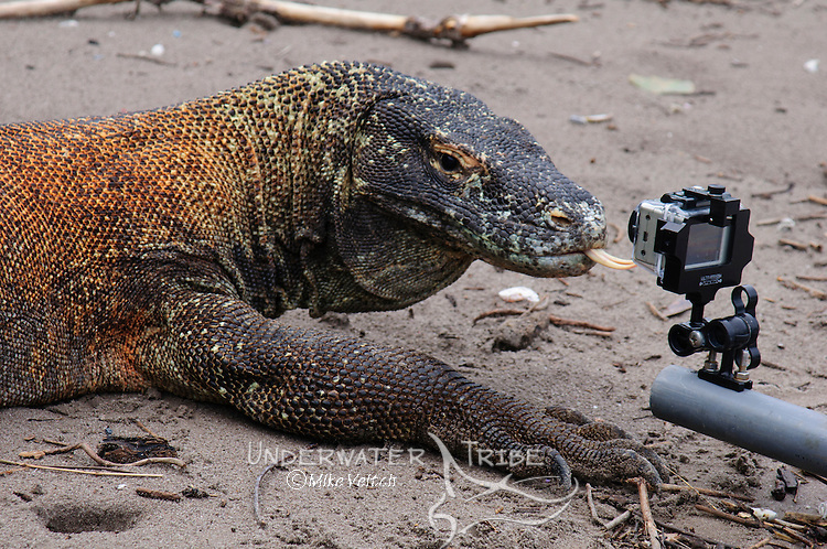 A Komodo dragon, Varanus komodoensis, tries to lick a Gopro camera, Rinca Island, Komodo National Park, Indonesia, Pacific Ocean