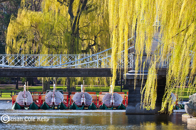 Swan boats in springtime in the Boston Public Garden, Boston, MA, USA