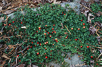 Mitchella repens (Patridgeberry) in berry, groundcover