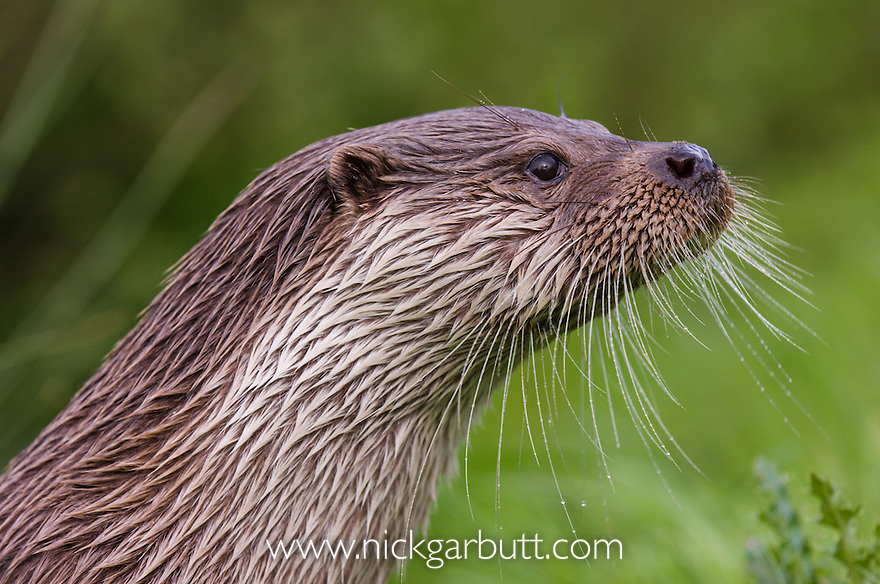 Male Eurasian Otter (Dog Otter) (Lutra lutra) emerging from river margins. Surrey farmland, England. (Controlled Conditions)