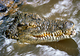 BOTSWANA, Africa, Chobe National Park and Game Reserve, Zambezi River Crocodile