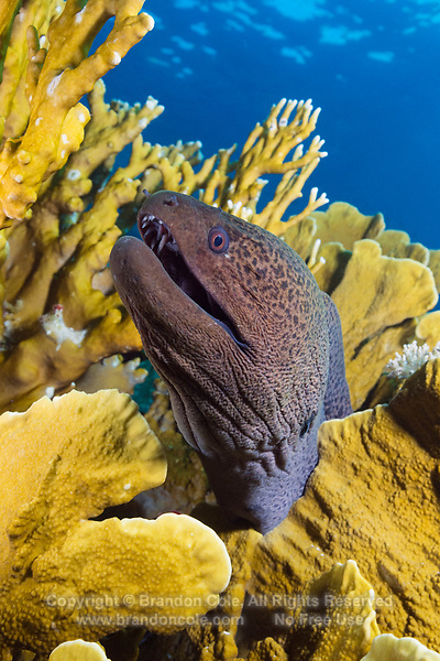 TG0455-D. Giant Moray Eel (Gymnothorax javanicus), peering up from inside colony of Plate Fire Coral (Millepora platyphylla). Egypt, Red Sea.<br /> Photo Copyright &copy; Brandon Cole. All rights reserved worldwide.  www.brandoncole.com