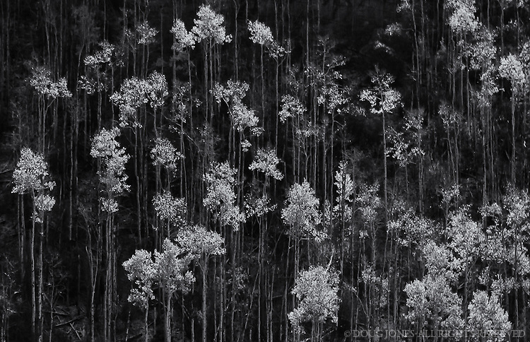The long trunks and wispy foilage of these Aspens against a steep hillside seemed perfect for a black and white exposure.