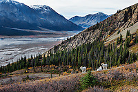 Dall sheep or Thinhorn sheep rams (Ovis dalli) on hillside overlooking Ä'äy Chù (Slim's River) Valley, Kluane National Park and Reserve, Yukon Territory. Sept.