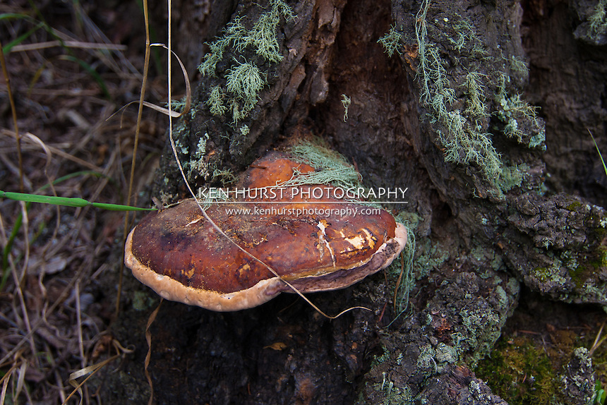Shelf mushroom, a fungal growth, on a tree near Red River, New Mexico.
