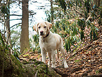 Yellow labrador puppy in woods.