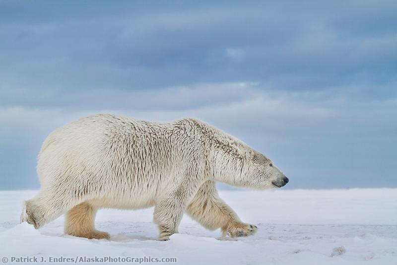 Polar bear walks along the shore of a snow covered island in the Beaufort Sea on Alaska's arctic coast.
