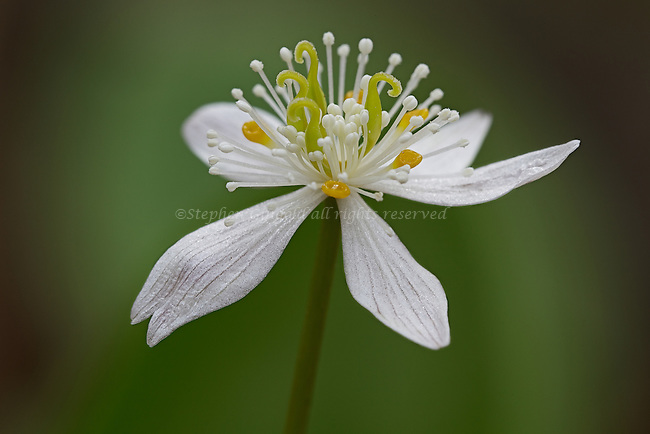 A Goldthread flower against a soft forest background.