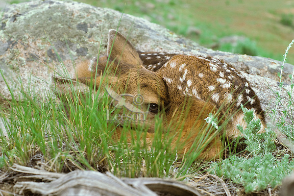 Young Mule Deer fawn lays motionless--means of hiding from predators--while waiting for its mother to return.  Western U.S., June.