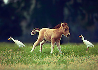 A Miniature horse foal in a green paddock with two cattle egrets feeding next to him. #332 HR Mini Foal.