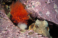 ke1519. Pacific Giant Octopus (Enteroctopus dofleini) peers out of its hiding spot between rocks. Pacific Northwest, Pacific Ocean..Photo Copyright © Brandon Cole. All rights reserved worldwide.  www.brandoncole.com..This photo is NOT free. It is NOT in the public domain. This photo is a Copyrighted Work, registered with the US Copyright Office. .Rights to reproduction of photograph granted only upon payment in full of agreed upon licensing fee. Any use of this photo prior to such payment is an infringement of copyright and punishable by fines up to  $150,000 USD...Brandon Cole.MARINE PHOTOGRAPHY.http://www.brandoncole.com.email: brandoncole@msn.com.4917 N. Boeing Rd..Spokane Valley, WA  99206  USA.tel: 509-535-3489