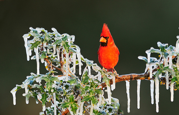 Northern Cardinal (Cardinalis cardinalis), male perched in ice covered bush, Dinero, Lake Corpus Christi, South Texas, USA