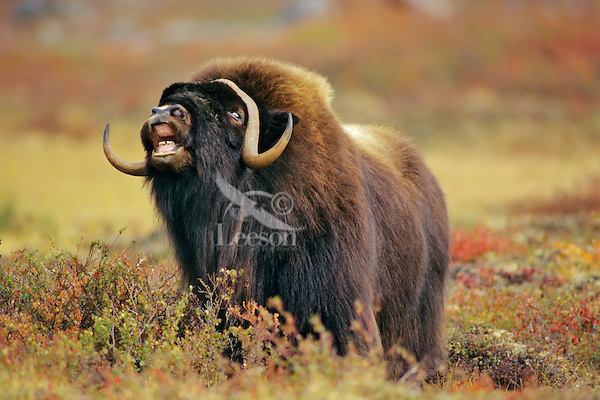 Muskox (Ovibos moschatus) bull checking the wind for a receptive female.  Nunavut.  Fall mating season.