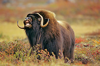 Muskox (Ovibos moschatus) bull checking the wind for a receptive female.  Nunavut.  Fall mating season.