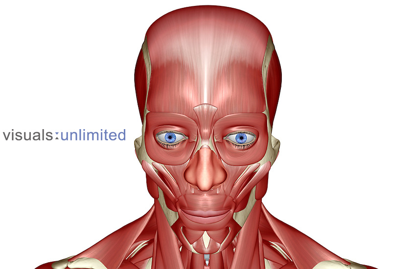 A superior anterior view of the muscles of the head and face. Royalty Free