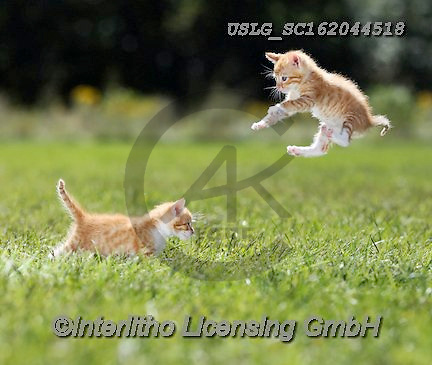 REALISTIC ANIMALS, REALISTISCHE TIERE, ANIMALES REALISTICOS, cats, paintings+++++,USLGSC162044518,#A#, EVERYDAY ,photos,fotos,pounce,cat,cats,kitten,kittens,Seth
