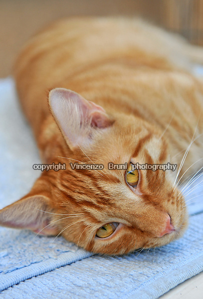 Close up of a red tabby cat laying on a light blue towel