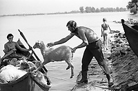 "ROMANIA, 08.1975, delta of Danube, Gorgova..""Sheep download"" to a boat to cross the Danube in Gorgova. Nearly 30.000 people live in the Danube delta fisheries and agriculture..ROUMANIE, 08.1975, delta du Danube, Gorgova..""Sheep download"" dans la barque à Gorgova, pour traverser le Danube..Près de 30000 personnes vivent dans le delta du Danube de la pêche et de l'agriculture..© Andrei Pandele / Est&Ost Photography."