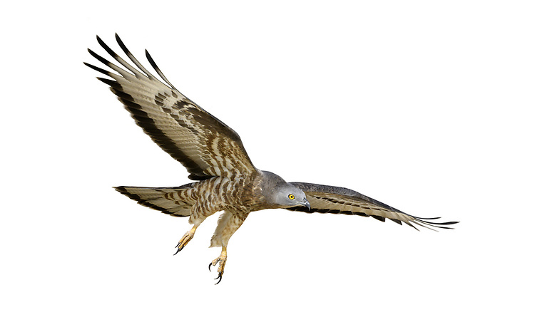 Honey-buzzard - Pernis apivorus