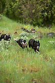 USA, Oregon, Joseph, cow dogs work in the canyon up Big Sheep Creek in Northeast Oregon