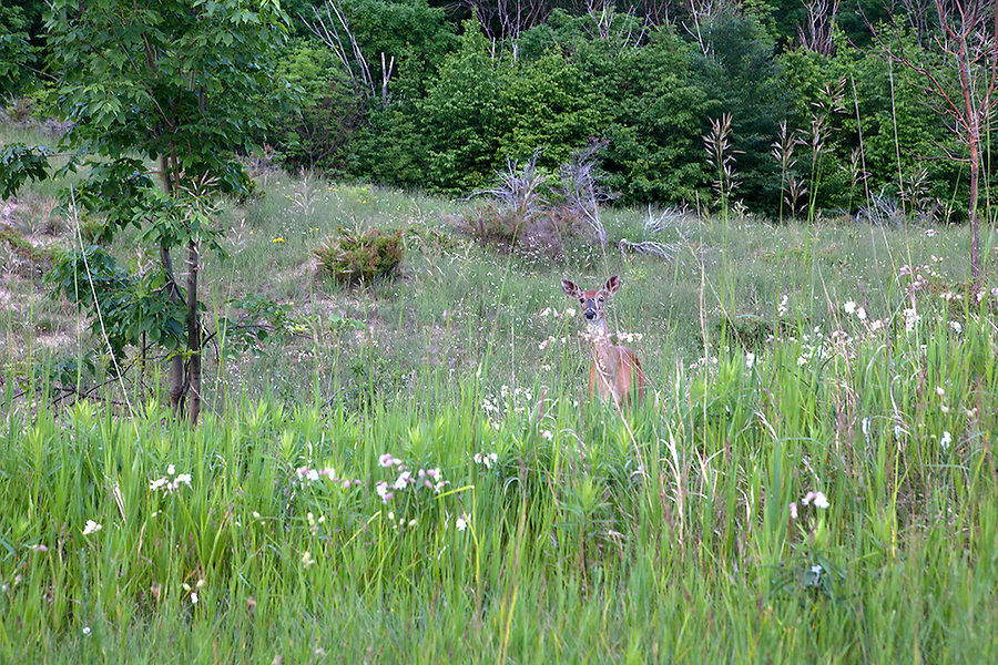 A deer peeks out of tall grasses in summer, Sleeping Bear Dunes National Lakeshore, northwestern Michigan, MI, USA