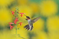 Ruby-throated Hummingbird (Archilochus colubris), male in flight feeding on Tropical Sage (Salvia coccinea) flower, Hill Country, Texas, USA