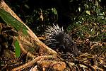 Malayan Porcupine (Hystrix brachyura) at night, Tawau Hills Park, Sabah, Borneo, Malaysia