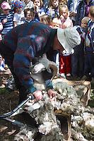 Schafschur, Schaf wird von Schäfer mit elektrischer Schafschermaschine geschoren, Schafe scheren, Schafscherer