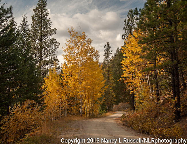 The golden colors of the aspen leaves in the fall in north Idaho