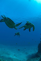 Green sea turtle (chelonia midas) also known as Honu.Most common turtle to see around hawaiian waters.Its range extends throughout tropical and subtropical seas around the world.