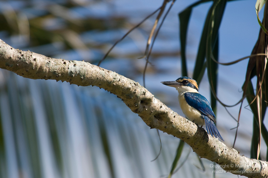 Taveuni, Fiji; a male Collared Kingfisher (Todiramphus chloris) bird sits on a tree branch in the sunshine