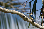Taveuni, Fiji; a male Collared Kingfisher (Todiramphus chloris) bird sits on a tree branch in the sunshine