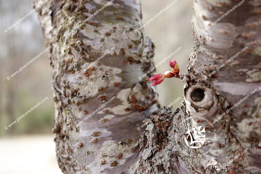 Stock photo - pink cherry blossom buds growing out of the bark.