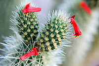 Cholla cactus with red flowers of Ocotillo bush. Anza Borrego Desert Stae Park, California